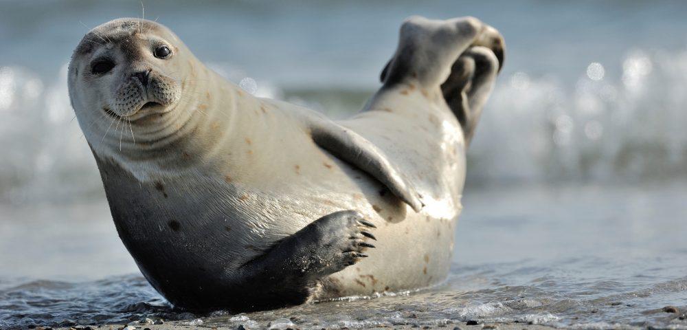 Beobachten Sie die Seehunde auf Amrum